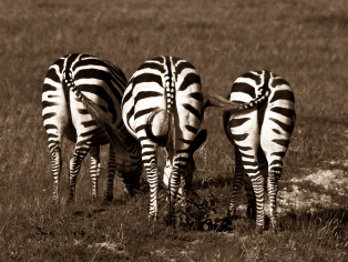 Trio of zebras all facing away from the camera in the Ngorongoro Crater, Tanzania