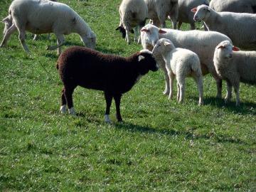 sheep-730074_640