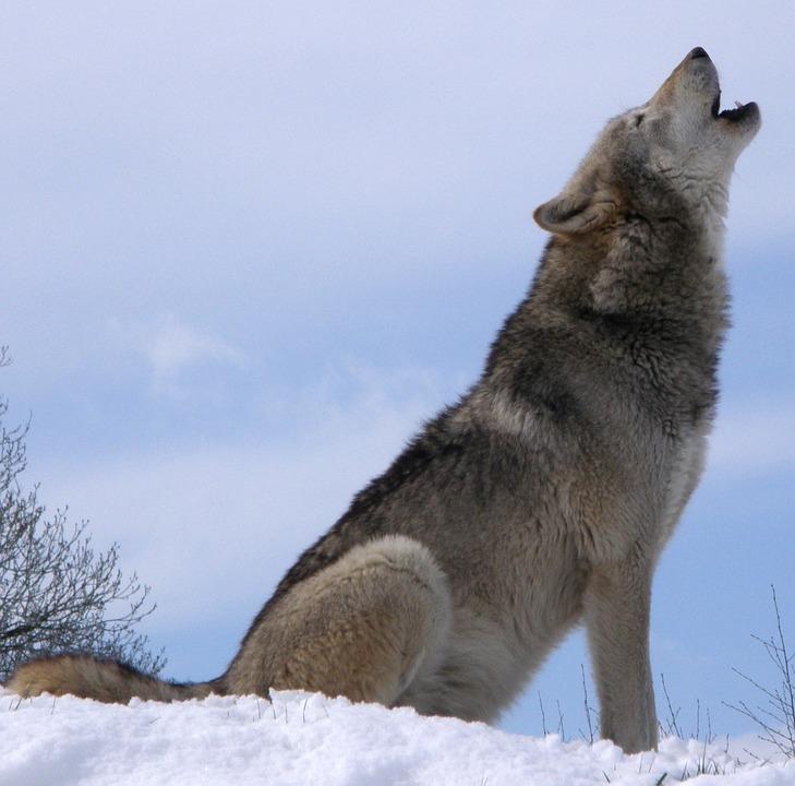 wolf-590756_960_720