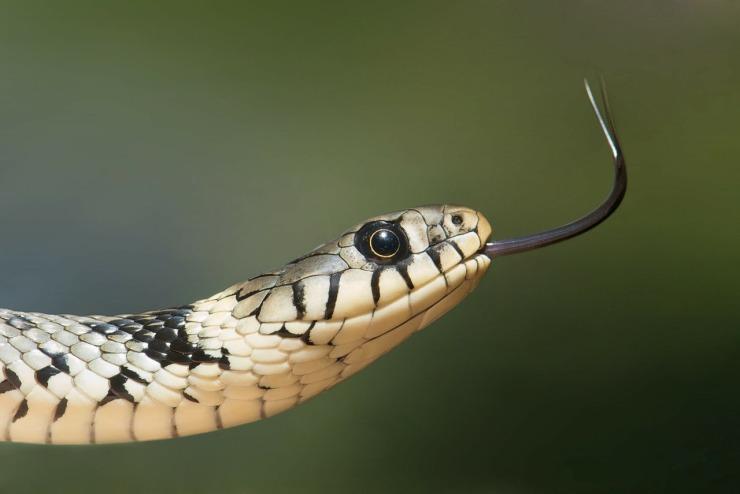 grass-snake-60546_1280.jpg