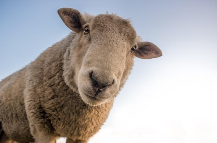 sheep-1822137_1280