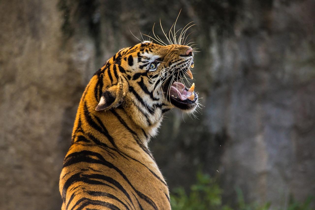 tiger-3264048_1280.jpg